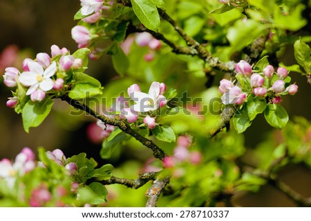 Apple Tree in Blossom at Springtime - stock photo