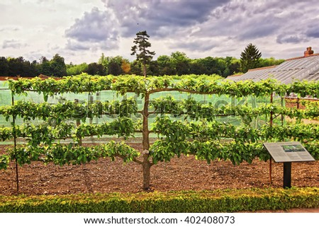 Apple Tree in Organic kitchen garden in  Audley End House in Essex in England. It is a medieval county house. Now it is under protection of the English Heritage. - stock photo