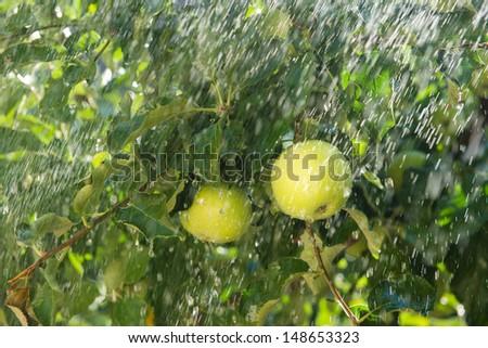 apple tree in the rain - stock photo