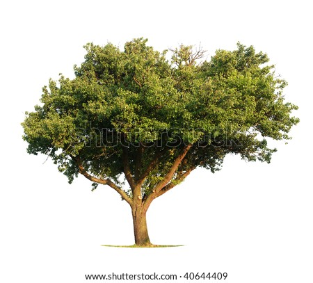 Apple Tree isolated on white - stock photo