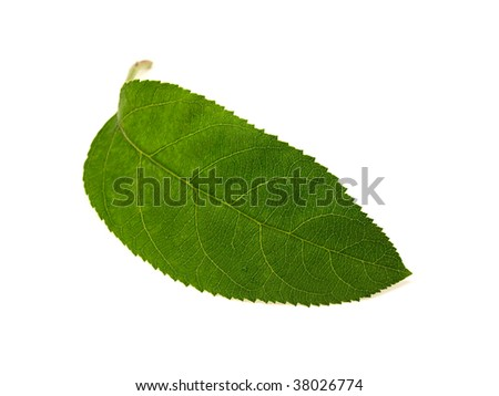 Apple-tree sheet isolated on a white background - stock photo