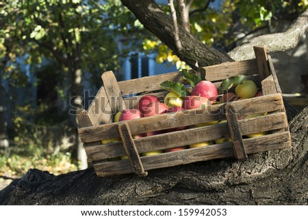 Apples in an old wooden crate on tree. Authentic image - stock photo