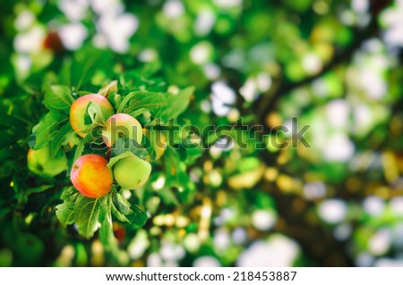 Apples in the tree. - stock photo
