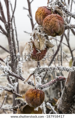 Apples in winter left on the tree and covered in frost. - stock photo