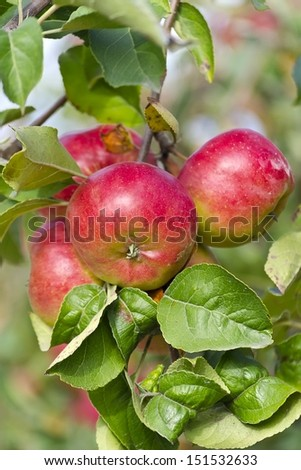apples on a tree branch in the garden - stock photo
