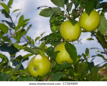 Apples ripening in the tree against cloudy skies - stock photo