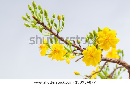 Apricot bloomsom (Nhanh Hoa mai ) ,the flowers of traditional Vietnamese new year  - stock photo
