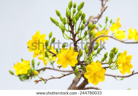 Apricot bloomsom ( Nhanh Hoa mai ) ,the flowers of traditional Vietnamese new year  - stock photo