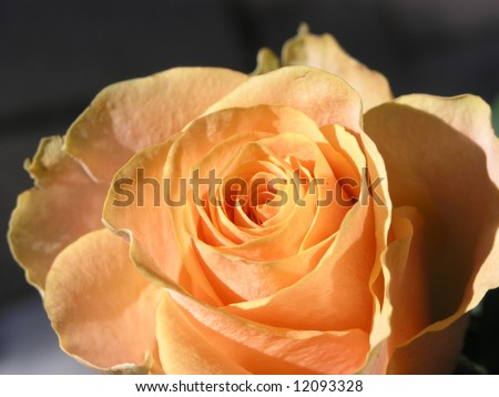 Apricot Coloured Rose 2 - stock photo