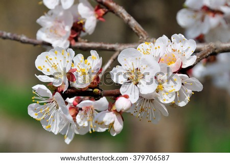 apricot, flower, outdoor, closeup, tree, blooming, bud, foliage, nobody, natural, individual, greenery, green, white, spring, petal, aroma, yellow, life, leaf, botanical, symbol, may, blossom  - stock photo