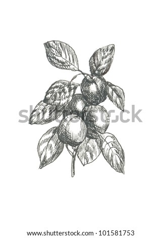 APRICOT / PEACH. Picture of fruit / vegetables. (This is the original artwork - black marker pen with a hard tip.) - stock photo