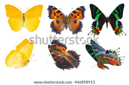 apricot sulphur, small tortoiseshell and chrysiridia rhipheus butterflies isolated on white background - stock photo