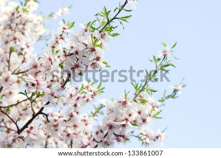 Apricot Tree Blooms Flower - stock photo