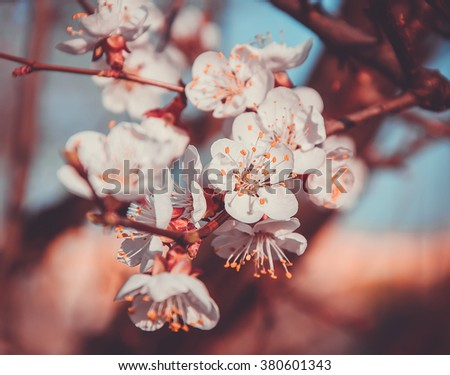 Apricot tree blossom flower on blue sky. Spring flowering apricot - stock photo