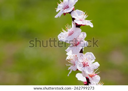 Apricot tree flower, floral nature background - stock photo