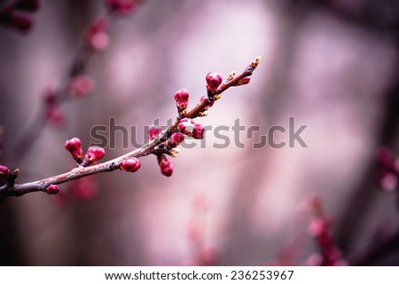 Apricot tree flower, seasonal floral nature background - stock photo