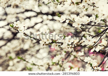 Apricot tree flower, seasonal floral nature easter background - stock photo