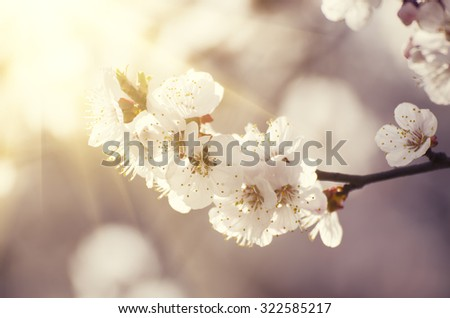 Apricot tree flower with buds blooming at springtime, sunny vintage retro floral background - stock photo