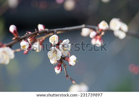 Apricot tree flower with buds blooming at sptingtime - stock photo
