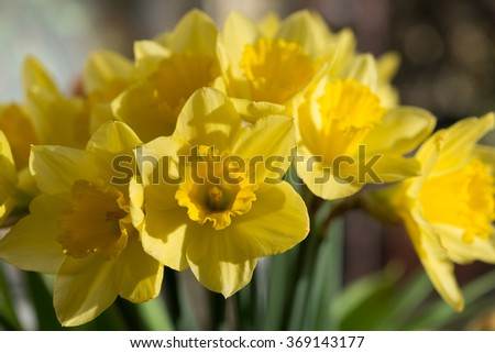 April blooming Narcissi flowers arranged in vase for interior  Daffodil, yellow spring flower in the Amaryllidaceae amaryllis familiy. Used for fragrances, medicinal plant as traditional medicines - stock photo