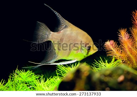 aquarian small fish of Pterophyllum scalare in an aquarium interior - stock photo