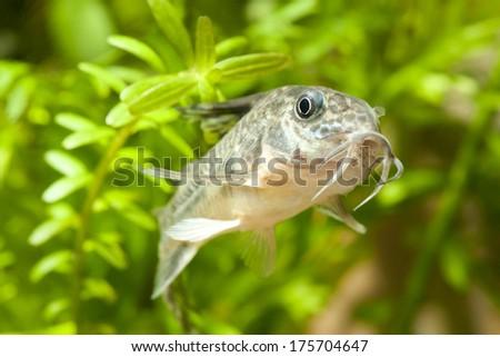Aquarium corydoras paleatus fish  - stock photo