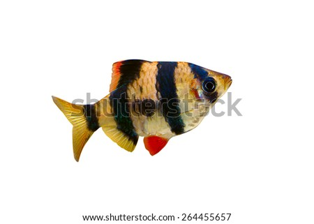 Aquarium fish - barbus puntius tetrazona isolated on white - stock photo