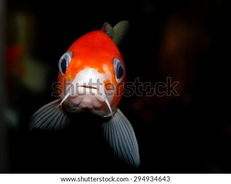 Aquarium fish. Cyprinus carpio. KOI carp from Japan. - stock photo