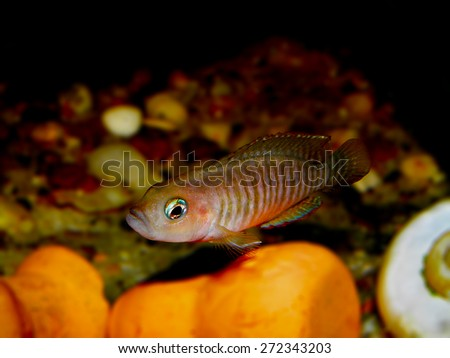Aquarium fish from Cichlidae family. - stock photo