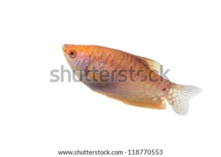 Aquarium Fish Lunar gourami (Trichogaster chuna), isolated on white background - stock photo