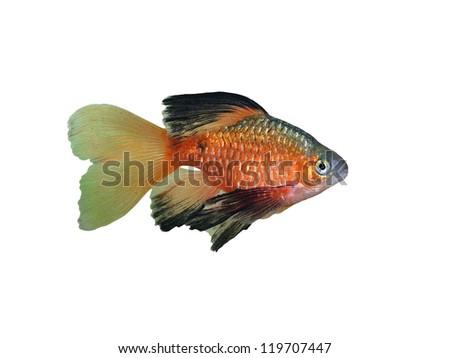 aquarium fish Rosy Barbus conchonius( Puntius conchonius) on a White Background - stock photo