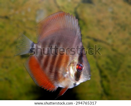 Aquarium fish. Symphysodon - stock photo