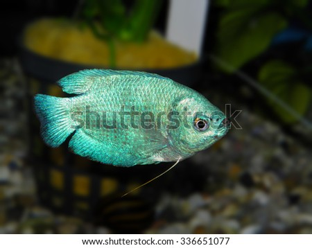 Aquarium fish. Trichogaster or Colisa - stock photo