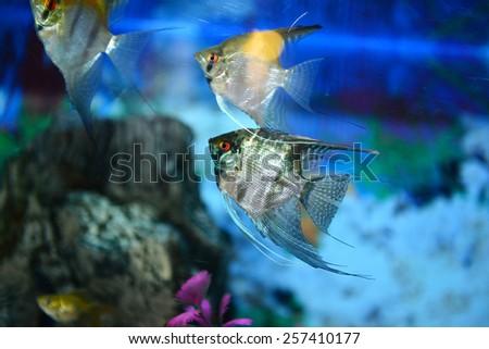 Aquarium fishes - stock photo