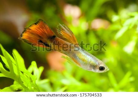 Aquarium orange guppy fish  - stock photo