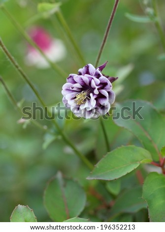 Aquilegia vulgaris  - stock photo