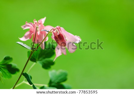 Aquilegia William Guinness or water-holder flowers at spring - stock photo