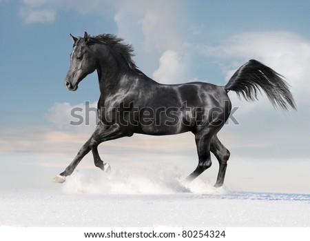 arab horse in winter - stock photo
