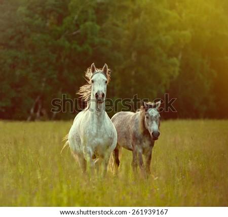 arab horses in sunset - stock photo