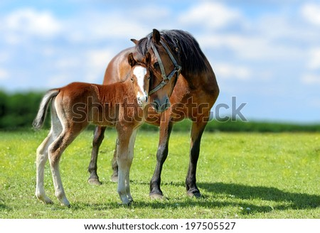 Arab mare and foal in spring meadow - stock photo