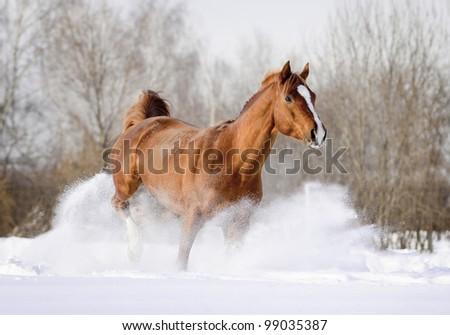 arab stallion in snow - stock photo