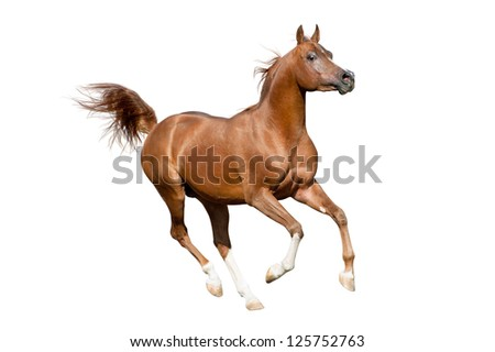 arab stallion isolated - stock photo