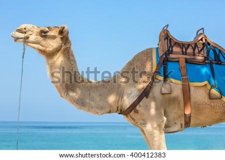 Arabian Camel Close-Up - stock photo