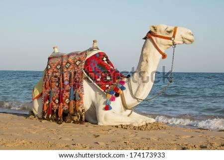 arabian camel walks in the sun near the sea - stock photo