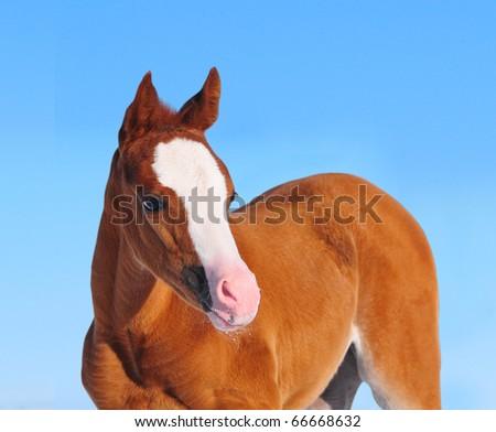 arabian chestnut foal - stock photo