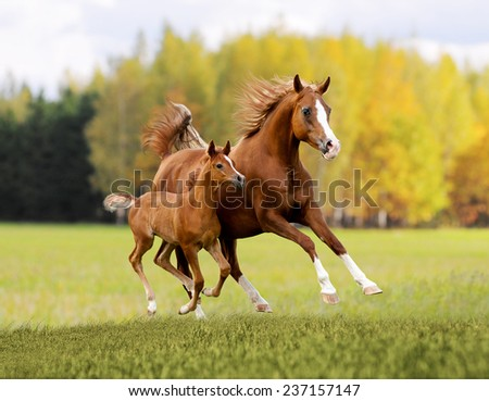 arabian free horse in autumn background - stock photo