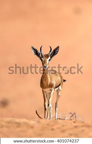 Arabian Gazelle - stock photo