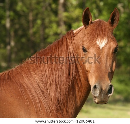 Arabian gelding with heart shaped star - stock photo