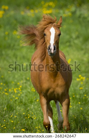 Arabian Horse On A Colourful Meadow - stock photo