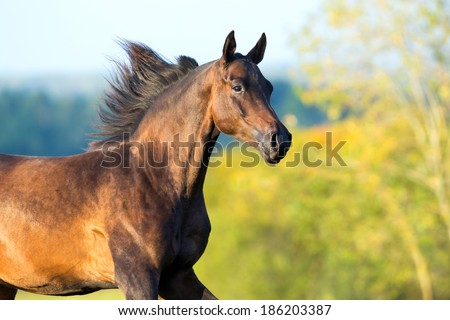 Arabian horse portrait in motion. - stock photo
